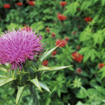 Лечебно-профилактические свойства расторопши (масло, семена, трава)